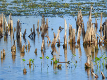 Cypress Knees Growing In The O...