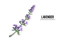 Realistic Lavender Twig Tasty ...