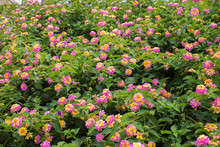 Lantana Camara Bush With Bloss...