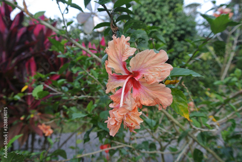 Fototapeta Hibiscus rosa-sinensis or is a genus of flowering plants in the mallow family, Malvaceae