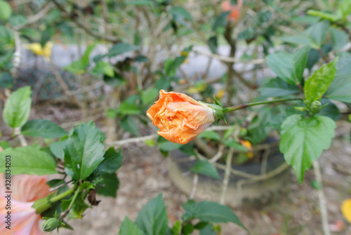 Fotografie, Obraz Hibiscus rosa-sinensis or is a genus of flowering plants in the mallow family, Malvaceae
