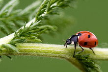 A Close-up Of A Ladybird Walki...