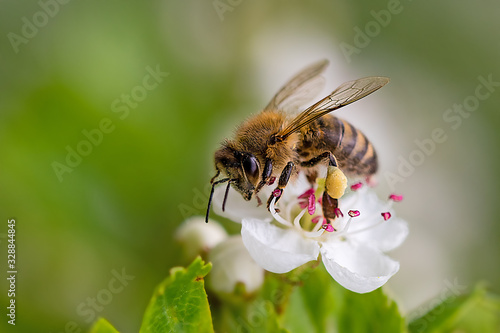 Photo Close-up of a heavily loaded bee on a white flower on a sunny meadow
