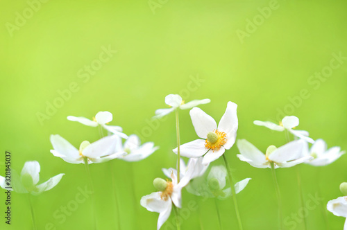 Spring blossoming anemone flowers in green shiny meadow background (anemone sylv Canvas Print