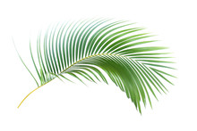 Green Leaf Of Palm Tree On Whi...