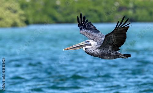 Brown Pelican Fotobehang