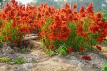 Red Tall Celosia Flower Field