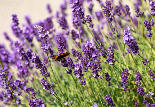 Obraz  the blooming lavender flowers in Provence, near Sault, France - fototapety do salonu