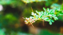 Small White Flower Branches In...