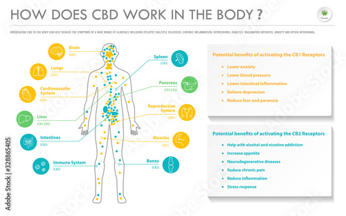Cuadros en Lienzo How Does CBD Work In the Body horizontal business infographic illustration about cannabis as herbal alternative medicine and chemical therapy, healthcare and medical science vector