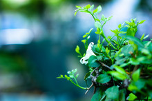 Moon Flower On The Branches Of...