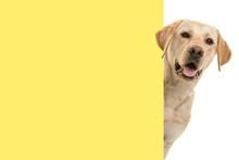 Portrait Of A Blond Labrador R...