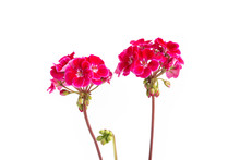 Two Branches With Red Geranium Inflorescences Isolated On A White Background.