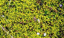 Blooming Moss, Early Spring. Background Texture Closeup.