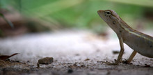 Close Up Small Chameleon On Th...