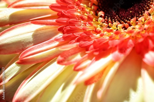 Gerbera, Transvaal Daisy, Barberton Daisy or Barbertonse madeliefie flower closeup Canvas Print