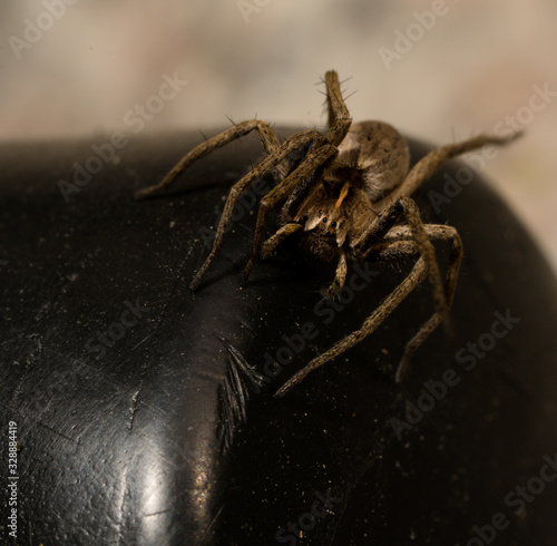 wolf spider sitting on a black chair in spring time, hessen, germany Canvas Print