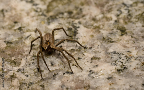 wolf spider sitting on a structured floor in spring time, hessen, germany Canvas Print