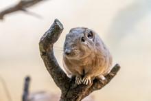 Closeup Of A Gundi In The Zoo ...