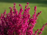 Fototapeta Kwiaty - Czerwonofiloletowe kwitay wrzośca w słoneczny listopadowy dzień na zielonym tle