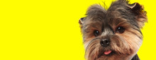 Yorkshire Terrier Dog Looking ...