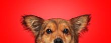 Metis Dog With Brown Fur Hidin...