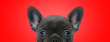 French Bulldog Dog With Black ...