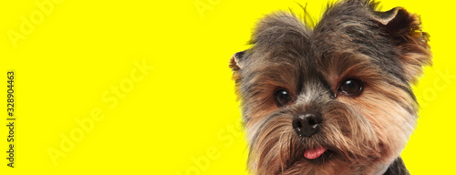 fototapeta na drzwi i meble yorkshire terrier dog looking at camera with tongue exposed