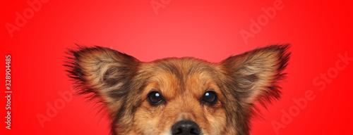 metis dog with brown fur hiding while looking at camera © Viorel Sima