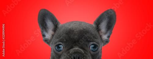 Fototapeta french bulldog dog with black fur posing shy at camera obraz