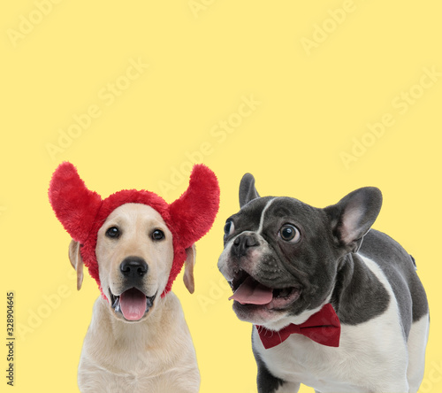 fototapeta na drzwi i meble couple of labrador retriever and french bulldog dogs panting