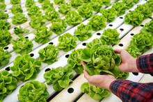 Farmer Harvest Vegetable Lettuce In Hydroponic Farm For Food Supply