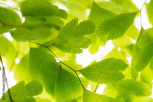 Fototapeta Green leaves on branch isolated on white obraz na płótnie