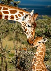 Fototapeta Żyrafa close up of mother giraffe kissing baby giraffe in Africa