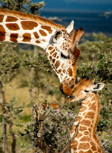 Photo close up of mother giraffe kissing baby giraffe in Africa