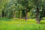 Fototapeta Sawanna - An oak savanna in summer.
