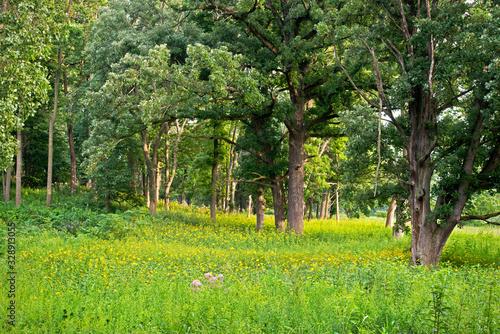 Fotomural An oak savanna in summer.
