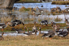 Greater White-fronted Goose - ...