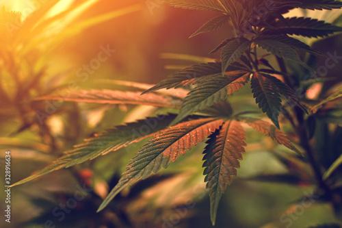 Fototapeta Close up of cannabis leaf, lit by warm early morning light obraz
