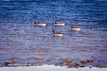 Canada Geese - 4 Geese Swimmin...