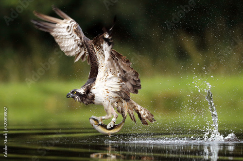 Osprey fishing on Scottish loch Canvas Print