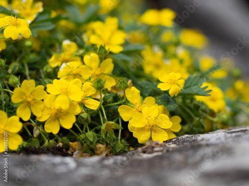 Potentilla reptans ( creeping cinquefoil, European cinquefoil) plant blooming wi Fototapet