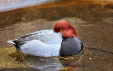 Redhead Duck The Redhead Is A ...