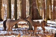 White Tailed Deer, Doe And Faw...