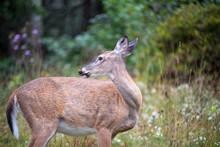 White Trailed Deer Looking Behind