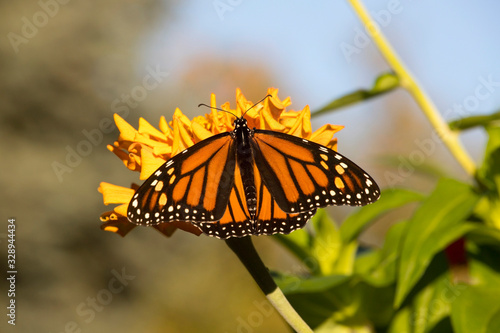 Monarch Butterfly Eating Nectar from Flowers and Plants Canvas Print