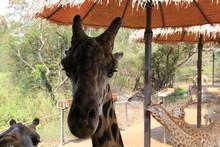 Curious Giraffe Looks At A Man