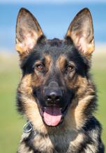 Kento The German Shepherd Dog