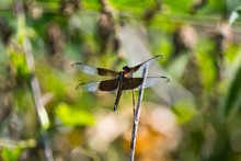 Widow Skimmer Dragonfly On Branch