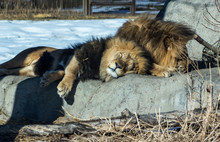 Lazy Lions Relaxing In The Sun